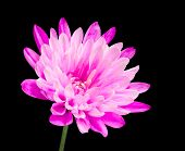 Pink Chrysanthemum Flower On Green Stick Isolated On Black