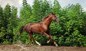 Beautiful horse running
