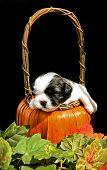 Shih Tzu Napping In Pumpkin Basket
