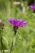 Common (black) Knapweed Centaurea Nigra 'rayed'