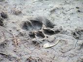 Spoor Of A Lion