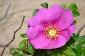 Beautiful briar flower