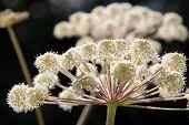 Sunlight On Angelica Sylvestris Flower