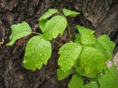Poison Oak Leaves With Water Droplets
