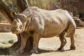Hook-lipped Rhino