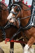 image of clydesdale  - Two Clydesdale horses galloping alongside each other - JPG