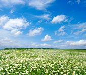 field of camomiles and blue cloudy sky