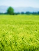 Beautiful fresh green wheat field, agricultural landscape, organic food industry, growing plant, spr