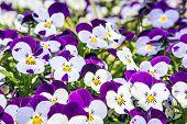 Pensamiento de flores
