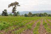 Row of Cassava or Manioc plantation