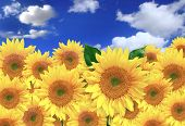 Happy Sunflowers In A Field On A Sunny Day poster