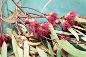 pic of eucalyptus leaves  - Taken at my friend - JPG