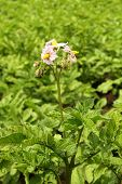 Potatoes Blossomed Flowering