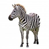 stock photo of herbivorous  - Zebra isolated on white - JPG