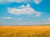 Wheaten Field  And White Clouds