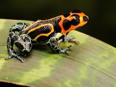 tropical poison frog kept as exotic pet animal in terrarium. These poisonous animals live in the Amazon rain forest of Peru.