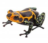 poison dart frog isolated, macro tropical exotic pet animal from Amazon rain forest in Peru. Beautif