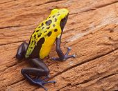 Yellow poison dart frog, Dendrobates tinctorius Citronella. Beautiful small amphibian from tropical rain forest in Suriname. These animals live Amazon jungle and are often kept in a jungle terrarium.
