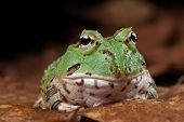 Pacman frog or toad, South American horned frogs Ceratophrys ornata (Argentine horned frog) Tropical rain forest animal in Amazon rainforest of Brazil Argentina and paraguay kept as exotic pet animal