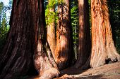 stock photo of redwood forest  - Giant Sequoias in Yosemite National Park - JPG