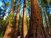 stock photo of granite dome  - Giant Sequoias in Yosemite National Park - JPG