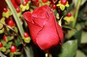 Blossom Beautiful Roses