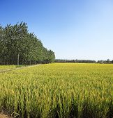 The Farmland To Harvest Golden Rice Reap Of The Woods Edge