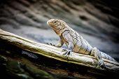 little Rhinoceros Iguana (Cyclura cornuta) on the wooden branch