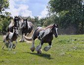 Gypsy Vanner horse herd