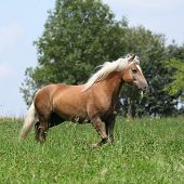 Beautiful Haflinger Running In Freedom While Eating Grass