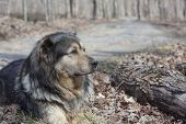 Old farm dog resting in the woods