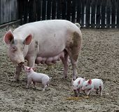 Mother pig bonding with baby