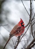 image of songbird  - Male cardinal perched in a tree on a snowy day - JPG
