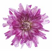 foto of violet flower  - Studio Shot of Fuchsia Colored Dahlia Flower Isolated on White Background - JPG