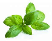 basil leaves isolated