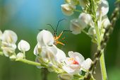 Flower Assassin Bug Waiting For Prey