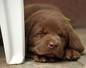 pic of chocolate lab  - Sleeping chocolate lab puppy - JPG