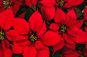 foto of poinsettias  - Bright christmas red poinsettia flower horizontal background - JPG
