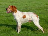 stock photo of spotted dog  - Spotted Brittany Spaniel dog in a garden - JPG