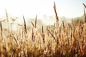 image of whole-wheat  - wheat field - JPG