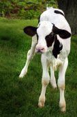 Black And White Holstein Calf