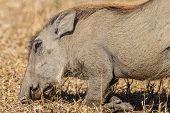 Warthog Habits Eating Wildlife