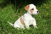 Fantastic Adorable Jack Russell Terrier Puppy