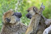 stock photo of omnivore  - Baboons in the natural habitat - JPG
