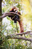 Red panda (Ailurus fulgens, lit.