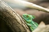 Green chameleon standing on branch