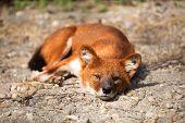 Red Fox  lying and enjoying on sunny day