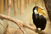 Portrait of Hornbill with yellow beak (Rhyticerous plicatus)