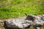 red-eared slider turtle basking in the sun on rock