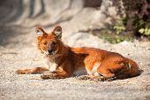 Beautiful  red fox enjoying in sunny day